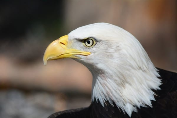 Bald eagle for expungement in Lafayette IN
